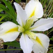 Iris x louisiana \'Her Highness\'