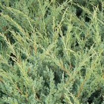 Juniperus chinensis \'Blaauw\'