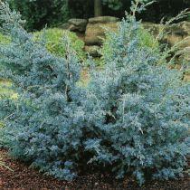 Juniperus chinensis \'Blue Alps\'