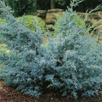 Juniperus chinensis \'Blue Alps\'