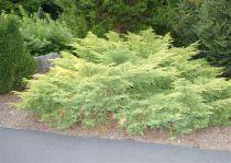 Juniperus chinensis \'Gold Star\'