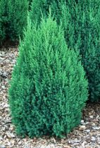 Juniperus chinensis \'Stricta\'