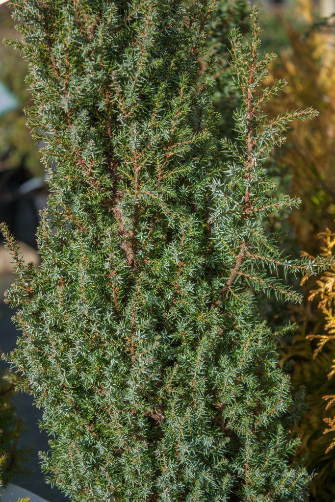 Juniperus communis \' Compressa \', conifère nain en colonne au feuillage persistant vert gris.