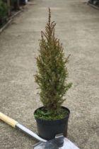 Juniperus communis \' Compressa \'