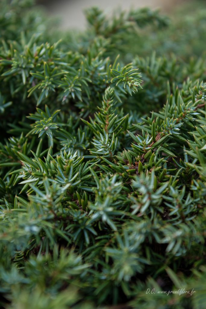 Juniperus communis \' Green Carpet \'