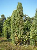 Juniperus communis \'Hibernica\'