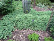 Juniperus conferta \'Schlager\'