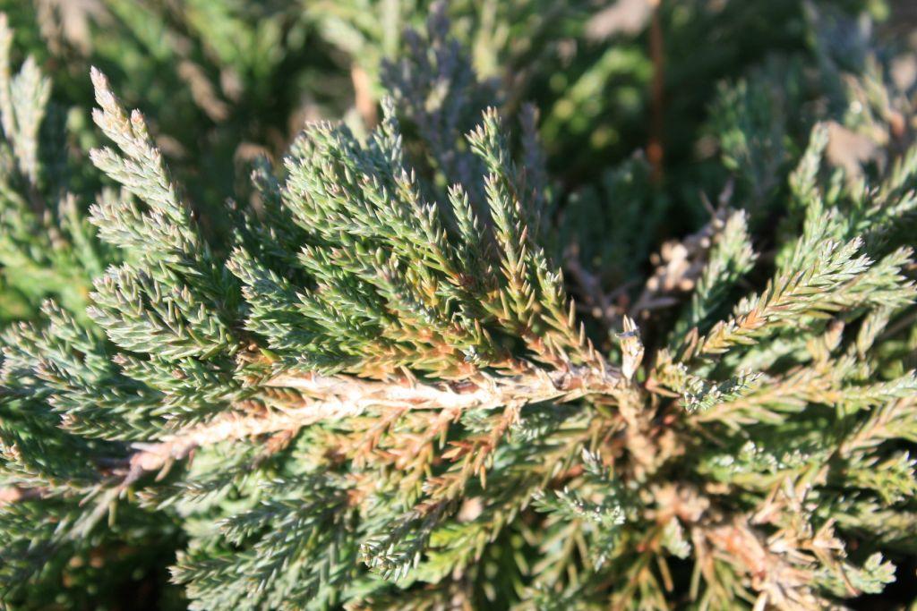 Juniperus horizontalis \'Blue Chip\'