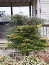 Juniperus horizontalis \'Glauca\'