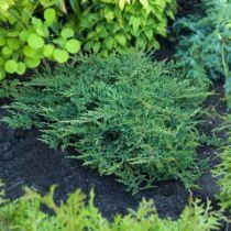 Juniperus horizontalis \'Principe de Gales\'