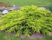 Juniperus media \'Old Gold\'