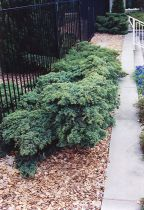 Juniperus media \'Pfitzeriana Glauca\'