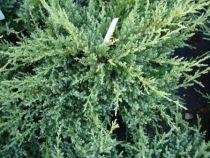 Juniperus pfitzeriana \'Compacta\'
