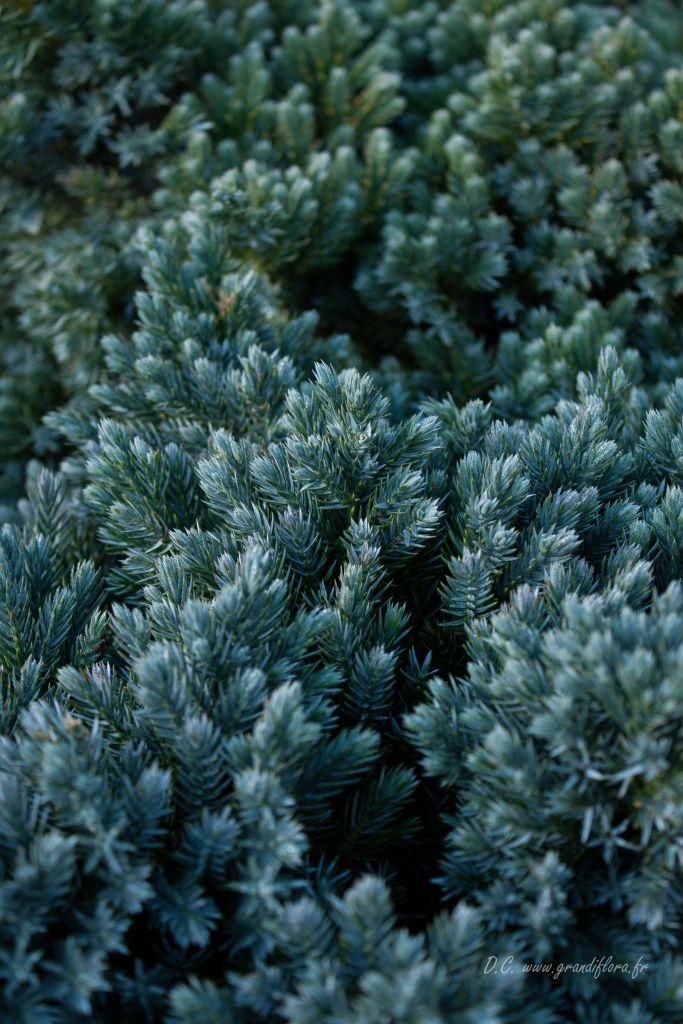 Juniperus squamata \' blue Star \', conifère nain compact à feuillage persistant bleu