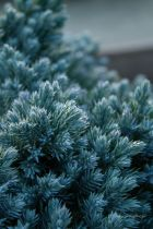 Juniperus squamata \' blue Star \'