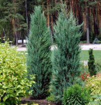 Juniperus virginiana \'Blue Arrow\'