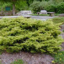 Juniperus x media \'Pfitzeriana\'