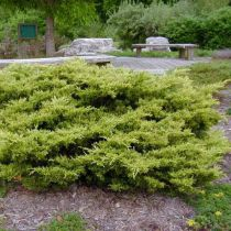 Juniperus x media \'Pfitzeriana\'