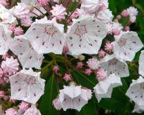 Kalmia*  latifolia