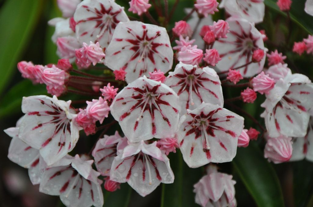 Kalmia*  latifolia \'Peppermint\'