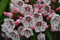Kalmia latifolia \'Peppermint\'