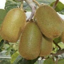 Kiwi \'Jenny\' - Actinidia deliciosa \'Jenny\', fruitier caduc à feuilles vertes et aux fruits marron a chair verte en automne.