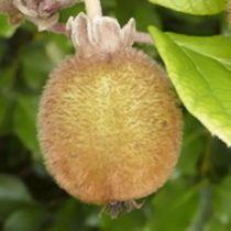kiwi \'Solo\' - Actinidia chinensis \'Solo\', fruitiers caduc à feuilles vertes et aux fruits marron en hiver.