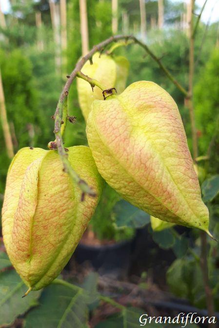 Koelreuteria* paniculata \'Fastigiata\'