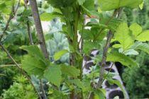 Koelreuteria paniculata \'Fastigiata\'