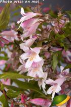 Kolkwitzia amabilis \'Pink Cloud\'