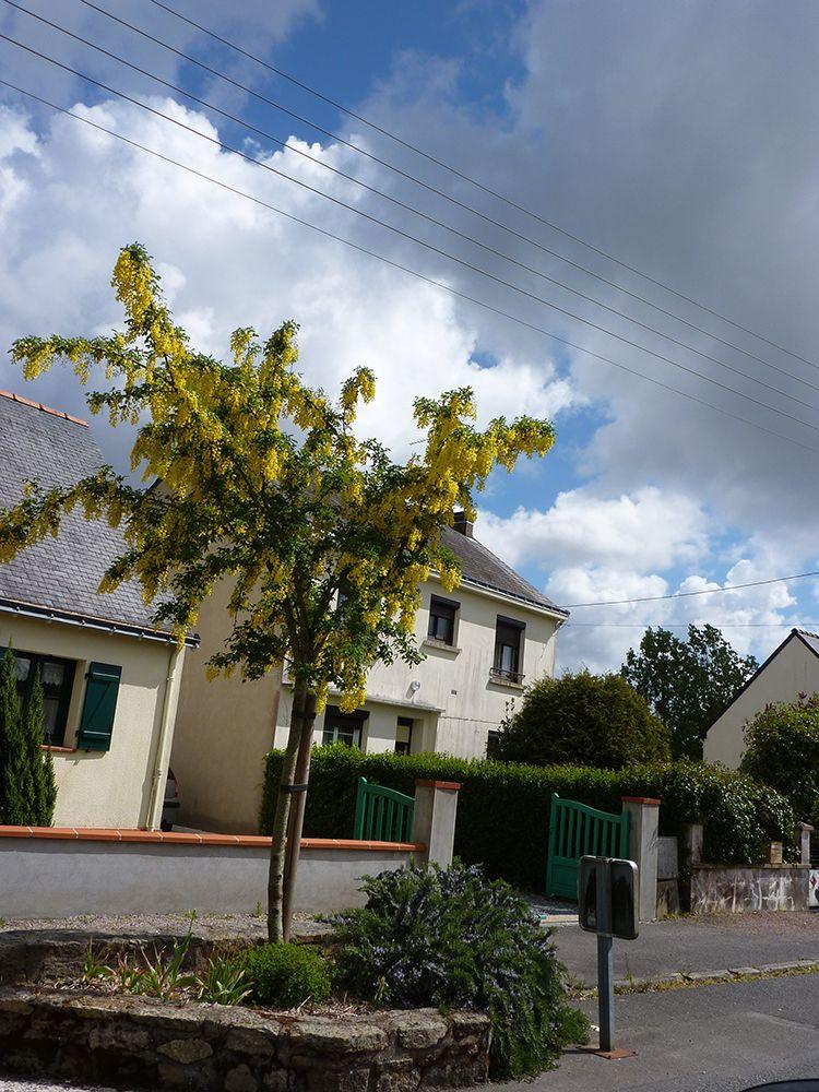 laburnum cytisus, petit arbre caduc au feuillage vert et à la floraison jaune d\'or en grappe au printemps.
