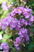 Lagerstroemia * i. Black Solitaire® \'Purely Purple\'