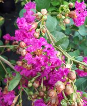 Lagerstroemia * i. Indiya charms® violet d\'été®