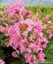 Lagerstroemia * indica \'Petite Pink\'
