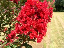 Lagerstroemia * indica \'Red Rocket\'