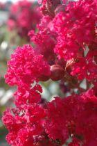 Lagerstroemia * indica Indiya charms® Braise d\'été®