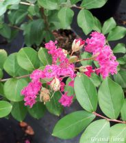 Lagerstroemia * indica rouge