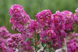Lagerstroemia * indica violet