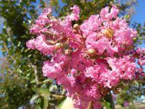 Lagerstroemia * monbazillac Rose clair