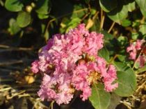 Lagerstroemia indica \'Petite Pink\'