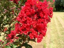 Lagerstroemia indica \'Red Rocket\'