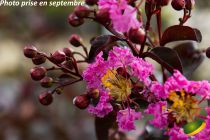 Lagerstroemia indica \'Rhapsody in Pink\'