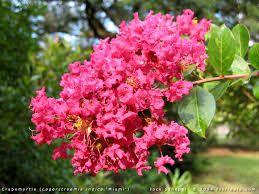 Lagerstroemia indica Indiya charms® fuchsia d\'été®