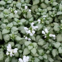 Lamium maculatum \'White Nancy\'