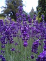 Lavandula* angustifolia \'Dwarf Blue\'