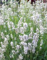 Lavandula* angustifolia \'Edelweiss\'