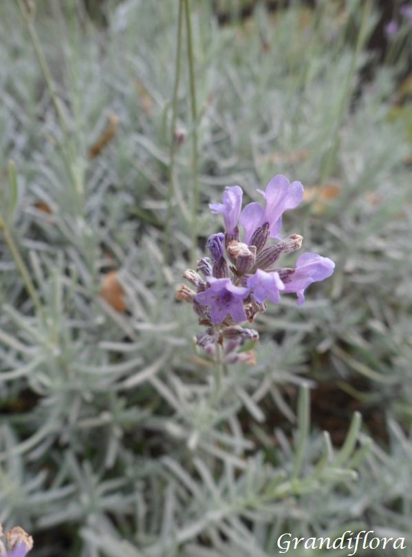 Lavandula* angustifolia \'Officinalis\'
