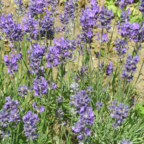 Lavandula* intermedia \'Phenomenal\'