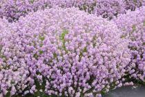 Lavandula angustifolia \'Rosea\'