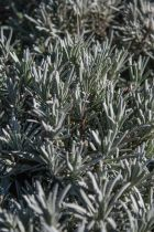 Lavandula x \' Grosso \' ou lavande à floraison bleue en été et au feuillage gris persistant.